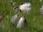 Broad-Leaved Cottongrass (Eriophorum latifolium)